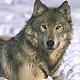 Охота на волка в Бологое