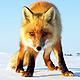 Охота на лисицу в Бологое