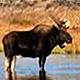 Охота на лося в Бологое