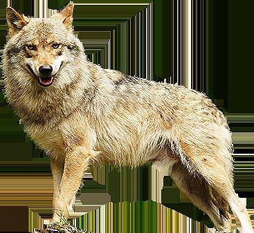 Охота на волка в Бологовском районе